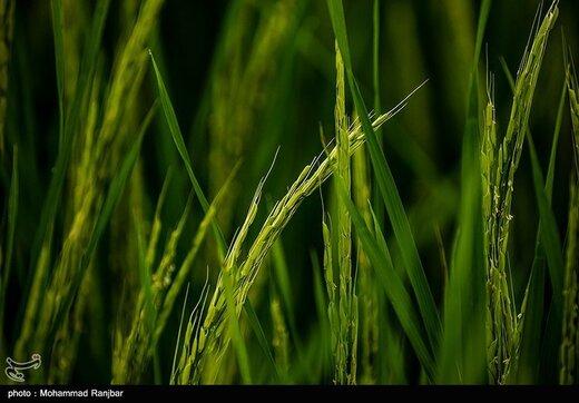 پیچیدن عطر خوش برنج در شالیزار های گیلان