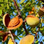 ۶۰ درصد محصول بادام سامان به هند صادر میشود