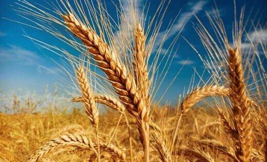 خرید تضمینی گندم در استان تهران ۳۰ درصد رشد کرد