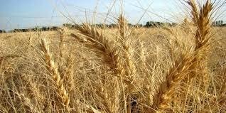 ۱۱ هزار تن گندم از کشاورزان خراسان جنوبی خرید تضمینی شده است