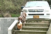 ببینید   سگی که پیک سوپرمارکت شد