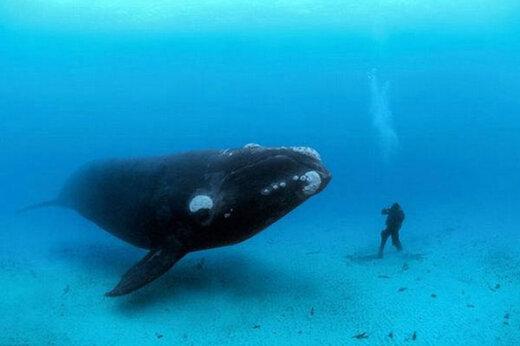 ببینید | روایتی شنیدنی از نحوه نجات یک نهنگ مادر در دریای عمان