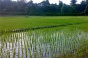 بیش از ۱۰ هزار هکتار از اراضی لرستان زیر کشت برنج