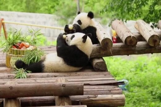 ببینید   لحظه تولد خرسهای پاندای دو قلو در ژاپن