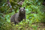 ببینید | دفاع خرس قهوهای از قلمرو خود در برابر خرس جوان