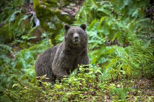 ببینید | دفاع خرس قهوهای از قلمرو در برابر خرس جوان در البرز مرکزی شمالی
