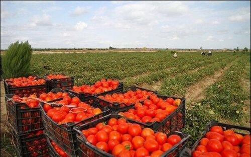 ۶هزارهکتار از اراضی کشاورزی قزوین به زیر کشت گوجهفرنگی رفت