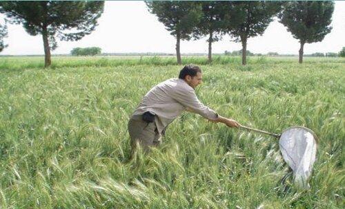 مبارزه با سن غلات در ۱۰۲هزار هکتار از اراضی کشاورزی قزوین انجام شد