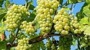 بیش از ۵۰۰ هزار تن انواع انگور در استان فارس تولید میشود