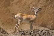مناطق حفاظت شده چهارمحال و بختیاری زیستگاه امن ۴۰۲ گونه جانوری است