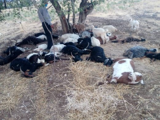 تلف شدن تعداد ۳۵ رأس گوسفند در پی بارندگی و رعد و برق در بخش سوق کهگیلویه
