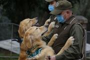 ببینید |  استفاده از سگهای تربیت شده برای تشخیص کرونا