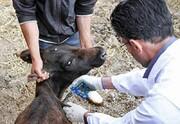 اجرای طرح بهداشتی دامپزشکی به مناسبت اعیاد قربان و غدیر در مناطق محروم و صعب العبور  کهگیلویه و بویراحمد