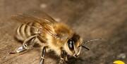 توضیحاتی درباره ادعای درمان کرونا با «نیش زنبور عسل»