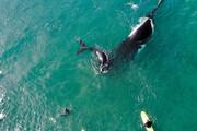 ببینید | موج سواری در کنار نهنگها