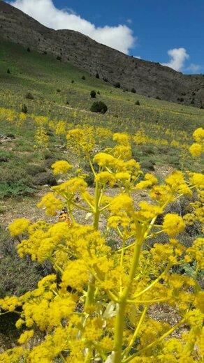 کاشت گیاهان دارویی آنغوزه به مساحت  ۲۰۰ هکتار از مراتع شهرستان میامی