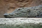 ببینید | حمله تمساح به بچه آهوی بازیگوش