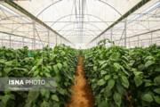 تصاویر | گلخانهای برای صادرات