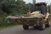 ببینید | حمل کروکودیل 4.2 متری با لودر در اندونزی