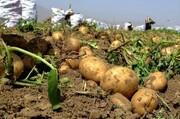 پیش بینی برداشت ۹۳۰ هزار تن سیب زمینی در همدان