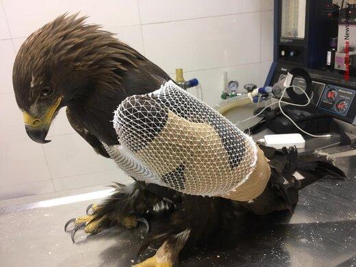مصدومیت عقاب طلایی بر اثر برخورد با دکل برق فشارقوی/ عکس
