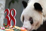 ببینید   جشن 38 سالگی پیرترین پاندای اسیر جهان