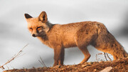 ببینید   نجات روباه گرفتار به دست جوانان شهرستان جلفا