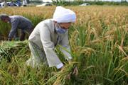 ببینید | دروی دستی برنج توسط آیت الله فلاحتی در شالیزارهای فومن
