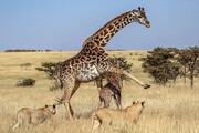 ببینید | حمله گروهی شیرها به زرافه مادر و فرزندش