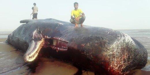 نهنگ ۲۰ تنی در ساحل سیریک به گل نشست/ تصاویر