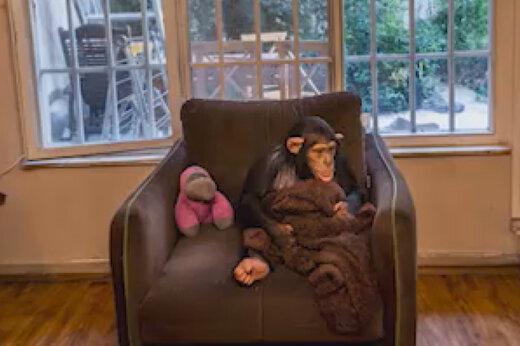 ببینید   جنجال بر سر شامپانزه معروف باغ وحش ارم