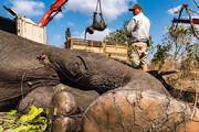 عکس | جلوگیری از انقراض نسل فیل ها