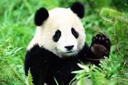 ببینید | بازیگوشی پانداها در باغ وحش
