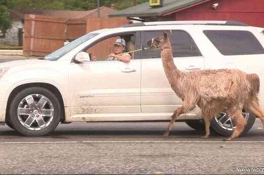 ببینید   حضور یک لاما در خیابان های تگزاس