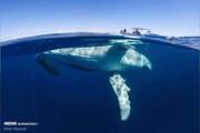 ببینید | صحنه دیدنی حضور یک نهنگ غول پیکر در کنار قایق تحقیقاتی