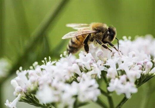 مرگ بیش از نیمی از جمعیت زنبورهای کشور