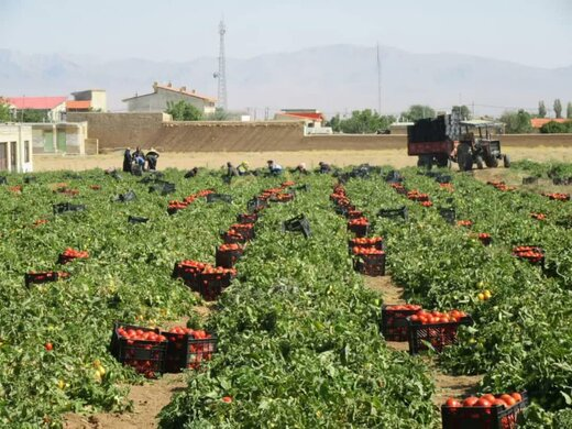 آغار برداشت گوجه فرنگی از مزارع شهرستان بن /برداشت بیش از ۱۰۰ تن گوجه از یک هکتار