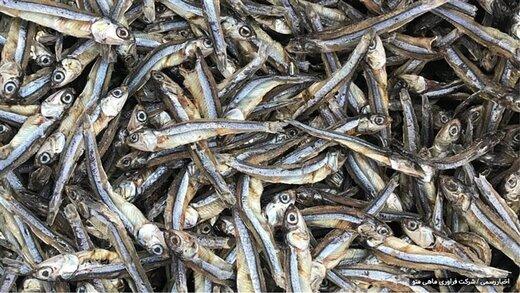 اخذ مجوز صدور پروانه بهداشتی صادرات ماهی خشک برای نخستین بار در کشور