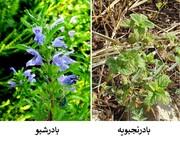 بادرشبو یا بادرنجبویه؛ گیاه دارویی آذربایجان غربی کدام است؟