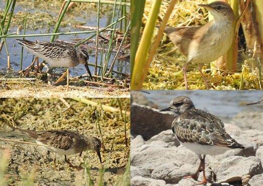 تالاب گندمان مأوای امن پرندگان ثبت مشاهده ۴ گونه پرنده جدید