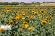 تصاویر | برداشت تخمه آفتابگردان از مزارع خراسان شمالی