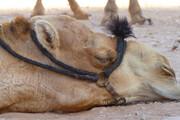 ببینید | نجات شتر گرفتار شده در جوی آب