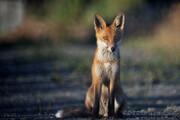 ببینید | صحنه استثنایی در بازی پیکان و نساجی: ورود جناب روباه به زمین بازی!