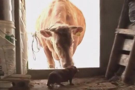 ببینید | دوستی صمیمانه یک سگ و گاو که دنیا را به حیرت درآورد