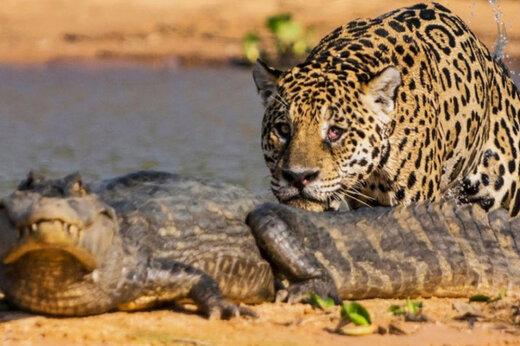 ببینید | کمین و حمله مرگبار جگوار به تمساح