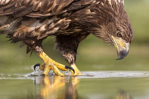 ببینید | بزرگترین عقاب زنده در زمین
