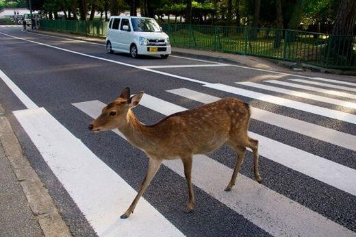 ببینید | گذر آهو از خط عابر پیاده در ژاپن