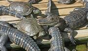 ببینید | فرار لاکپشت از آروارههای مرگبار کروکودیل