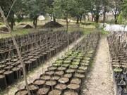 سیصد هزار اصله نهال صنوبر از ابتدای سال در نهالستان شهید رجایی تولید شده است