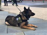 ببینید | تمرینات ویژه و سخت سگهای پلیس فدرال